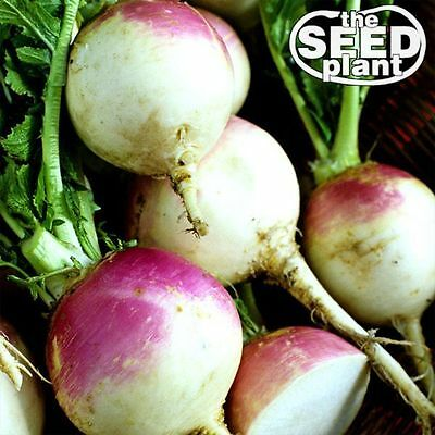 Purple Top White Globe Turnip Seeds - 1000 SEEDS-SAME DAY SHIPPING