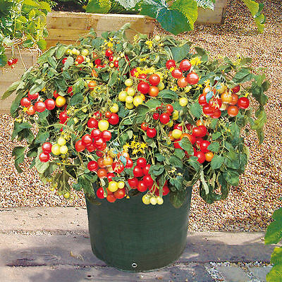 Italian Patio Cherry Tomato Seeds   Vigorous Production  Very Sweet  Free Ship