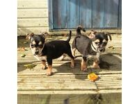 Norwich Terrier X Chihuahua Puppies