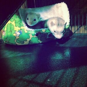 Male and female ferret