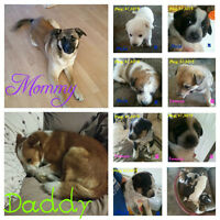 Heeler, Border Collie, German Shepherd Cross Puppies NO EMAILS