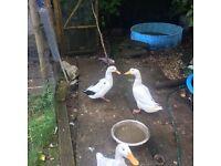 Male and female ornamental magpie ducks