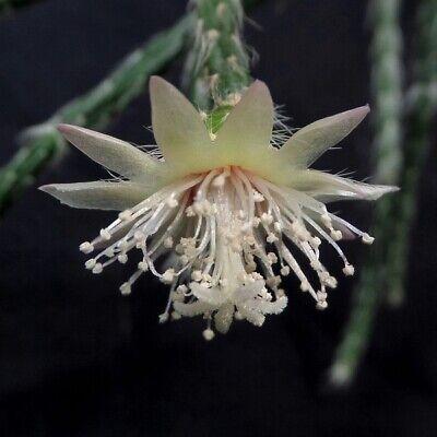 Rhipsalis pilocarpa (Epiphyllum, Lepismium, Disocactus, Hatiora) / 25-30cm for sale  Shipping to South Africa