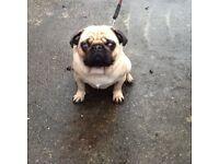"Adult Male Pug ""Bailey"""
