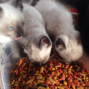 Chatons pur siamois