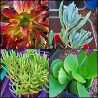 Succulents for sale - Launceston area
