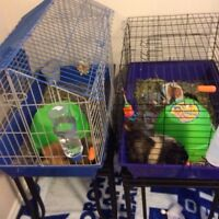 Two guinea pigs to go to good homes