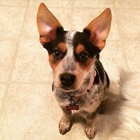 5 month old Blue heeler/ mini aussie for sale to good home