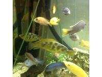 Cichlids from £10 can do deal on large amount