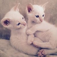 Purebred Siamese kittens for sale