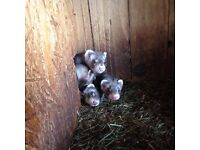 Free ferrets for good home