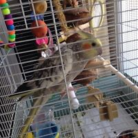 cockatiel and large cage and stand