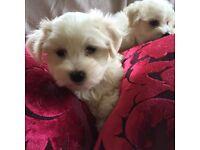 3/4 Maltese puppies maltichon X maltese