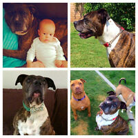 *Adoptable* MARVELOUS 7 year old Boxer- Mastiff Mix- Marvin