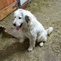 Great Pyrenese female 11 months old