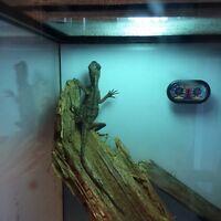 Mountain horned dragon and terrarium