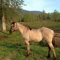 Grulla Yearling Filly For Sale * in the process of Registration