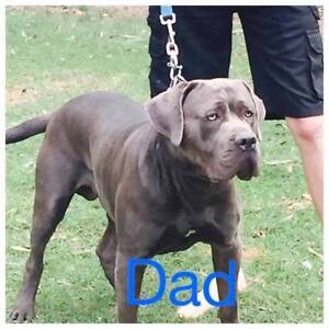 Neo Bandog puppies Logan Village Logan Area Preview