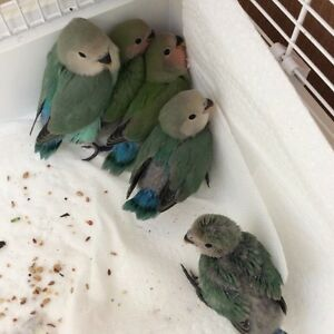 Hand -tamed BABY LOVEbirds -READY