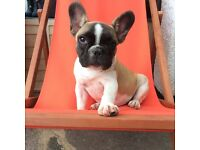 Full breed fawn and white French bulldog