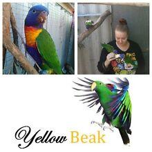 Rainbow Rescues - YellowBeak Birds Wanneroo Wanneroo Area Preview