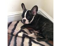 GORGEOUS french bulldog looking for a new home