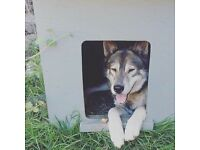 ARE YOU THE PERFECT OWNER FOR THIS HUSKY?