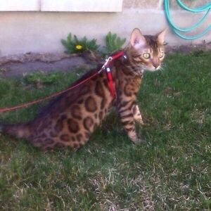 TOP quality bengal breeder/ New litter coming soon