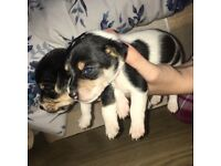 Jack Russell boys for sale