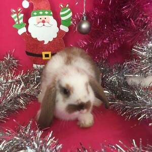 ♥♥♥ Quality Purebred Mini Lop Rabbits ♥♥♥ Vaccinated ♥♥♥ Londonderry Penrith Area Preview