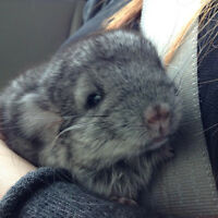 2 month Old Male Gray Chinchilla