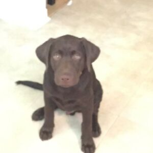 Chocolate Lab -Male
