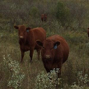 20 Bred Heifers