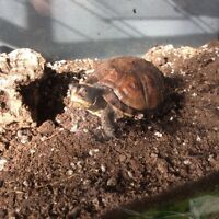 Eastern box turtle 3 years old