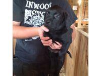 Rottweiller cross Labrador puppies