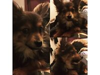 Chihuahua X Pomeranian 8m