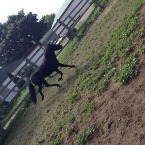 Black Miniture stallion horse
