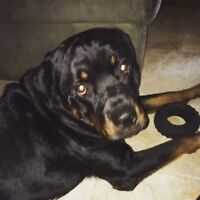 2 Year Old Rottweiler