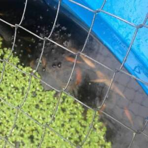 Free Koi Fish Kingsley Joondalup Area Preview
