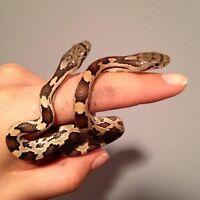Hatchling rat snakes