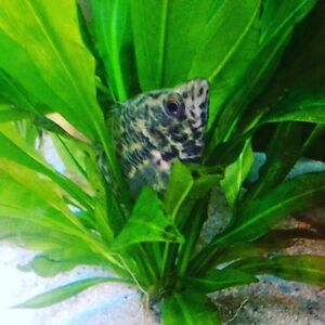 Leopard bush fish  ADULTS (2 must go together)