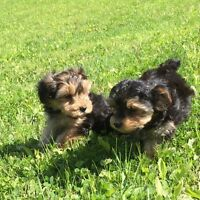 Toy YorkiePoo puppies! 2 girls still available!