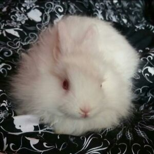 Netherland dwarf bunny babies, all white with red eyes - 8 wks
