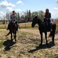 Two Standard Bred Geldings