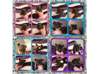 French bulldog Frenchie puppy's for sale