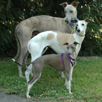Italian Greyhound Puppies looking for home in Qualicum Beach