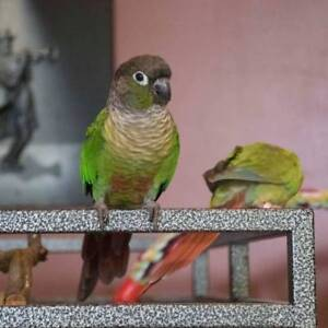 ❤♥☆♥ Conure♥ Babies with Cage and Food ♥☆♥❤