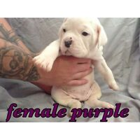 Olde English Bulldogge (Leavitt Bulldog) one female left