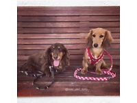 Sausage Pals - Dachshund Only Dog Day Care, Dog Sitter
