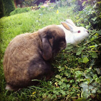 Two pet bunnies in need of a loving home